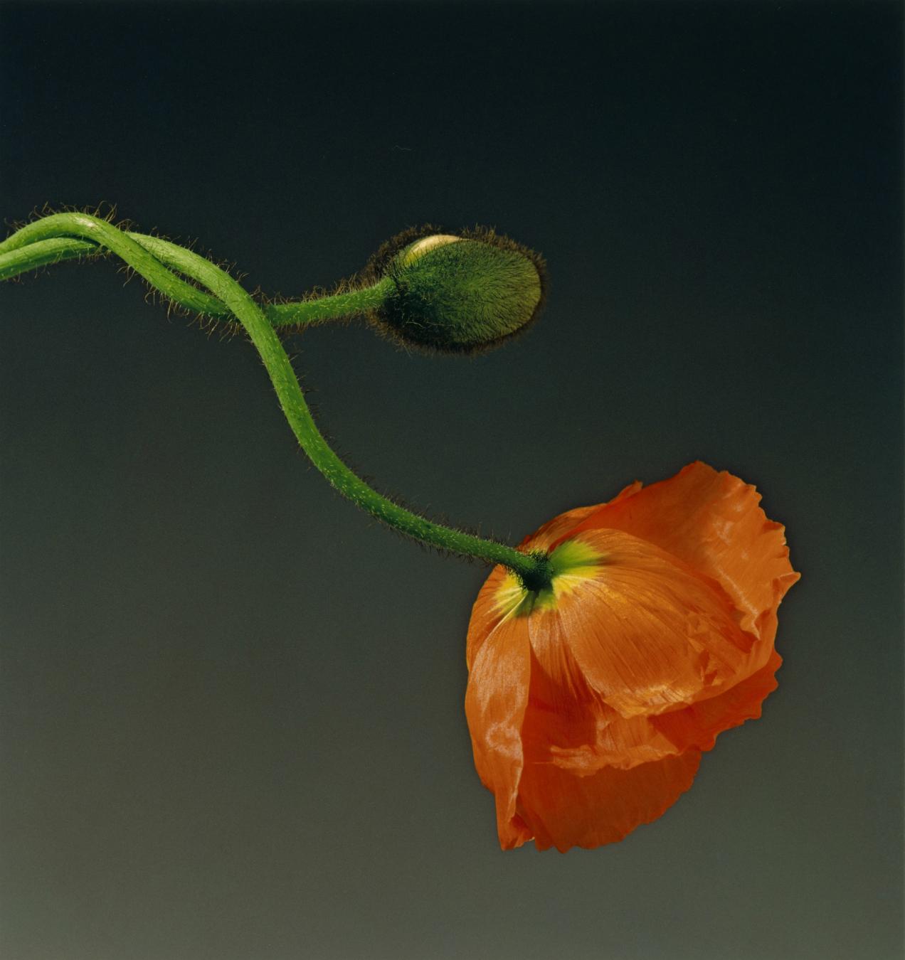 Mapplethorpe Poppy 1988